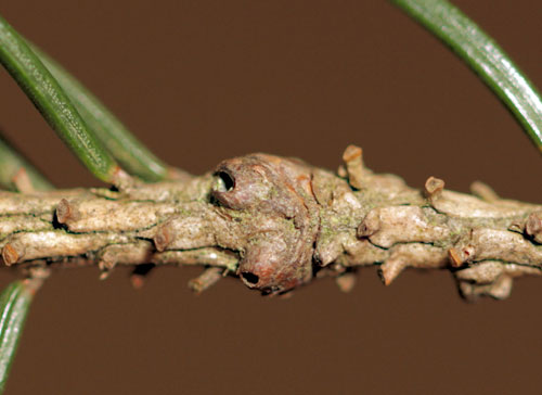Piceacecis abietiperda: vacated galls on Picea abies