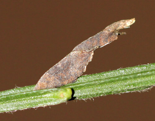 Coleophora calycotomella: case on Cytisus scoparius