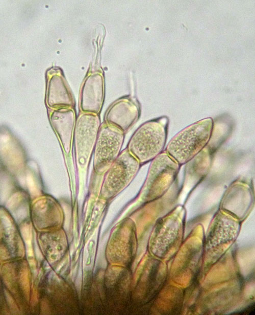Puccinia galii-verni on Galium spec.: teliospores