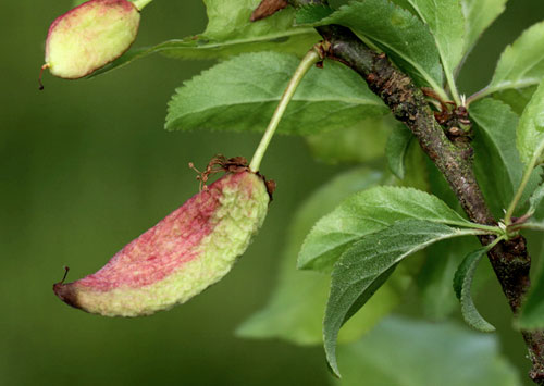 Taphrina insititiae: gall on Prunus domestica subsp. insititia