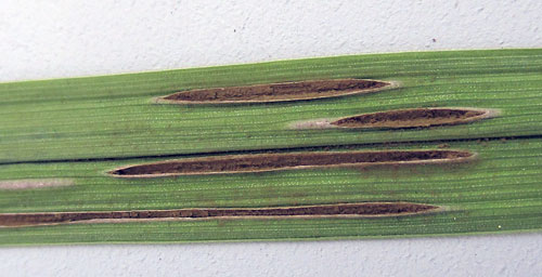 Ustilago filiformis on Glyceria maxima