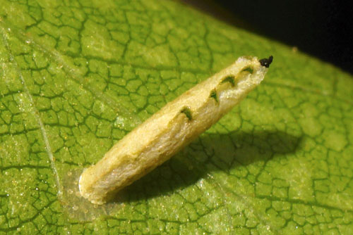 Coleophora serratella: larval case on Betula pubescens