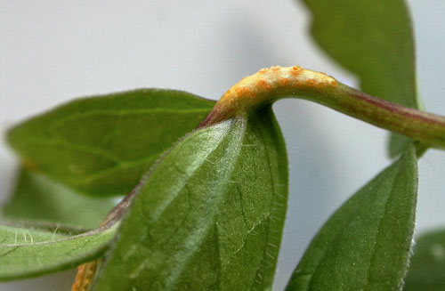 Puccinia commutata aecia on Valeriana officinalis