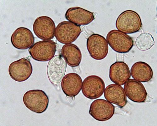 Uromyces minor: teliospores