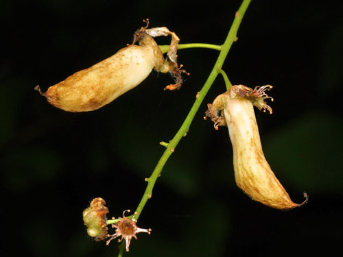 Taphrina padi: gall on Prunus padus