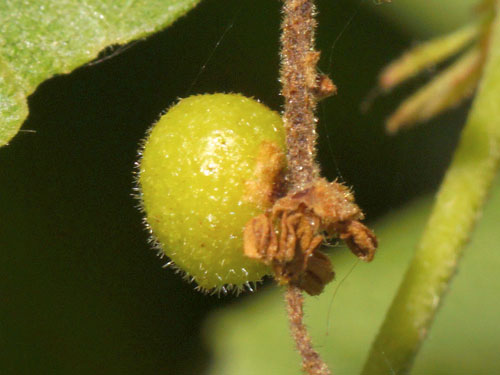 Andricus grossulariae: young catkin gall