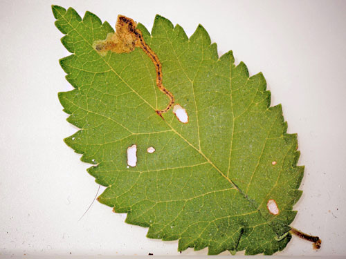 Orchestes alni: occupied mine on Ulmus minor