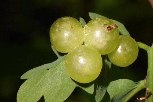 Cynips quercusfolii: cluster of galls
