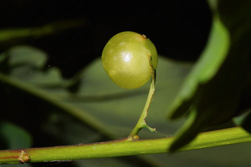 Neuroterus quercusbaccarum FM gall: gall on a leaf remnant