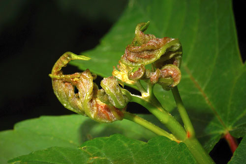 Dasineura irregularis: gall on Acer pseudopltanus