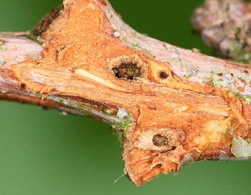 Callirhytis spec.: exit hole in Quercus robur