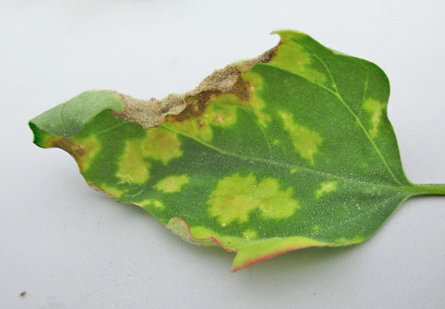 Peronospora variabilis on Chenopodium album
