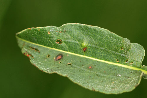 Cecidomyiid on Persicaria bistorta