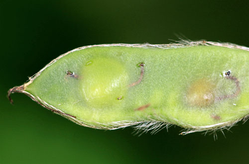 Bruchidius villosus on Cytisus scoparius pod