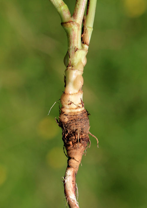 Aulacidea tragopogonis: galls on Tragopogon pratensis