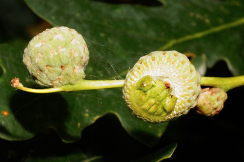 Andricus quercuscalicis: young gall on Quercus robur