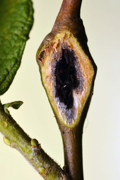 Rabdophaga pierreana: gall on Salix cinerea