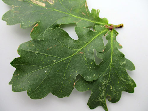 Microstroma album on Quercus robur