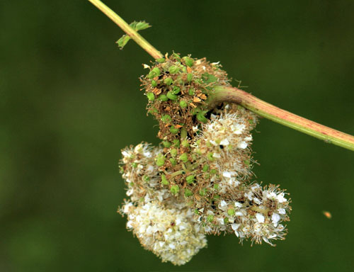 Aphis ulmariae: galled inflorescence of Filipendula ulmaria