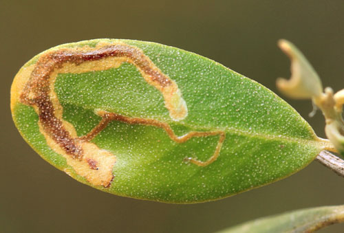 Metriochroa latifoliella: vacated mine on Olea europaea