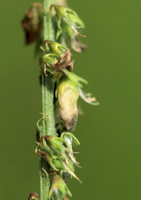Contarinia spec. on Melilotus albus