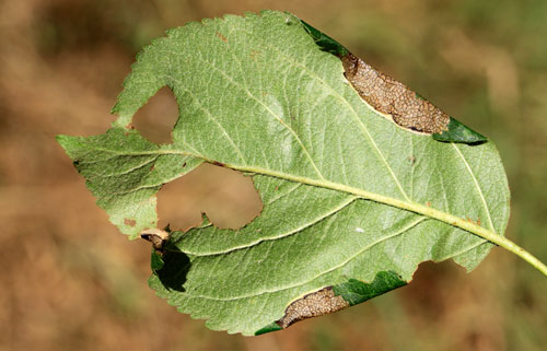 Callisto denticulella: leaf folds on Malus domestica