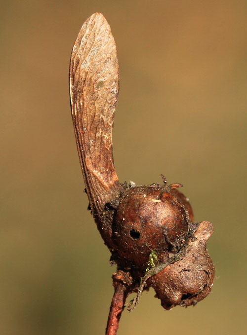 Pediaspis aceris: fruit gall on Acer pseudoplatanus