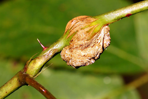 Agrobacterium tumefaciens on a gall of Lasiotera rubi