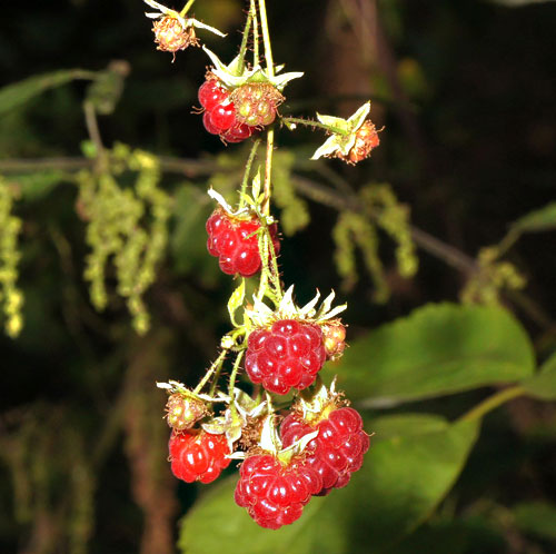 Acalitus essigi: galling fruits of Rubus idaeus