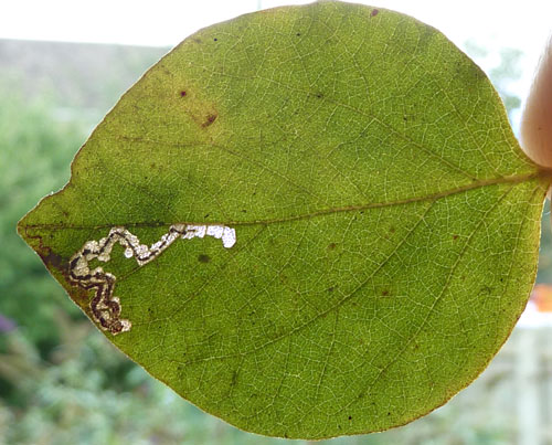 Stigmella styracicolella: mine on Styrax officinalis