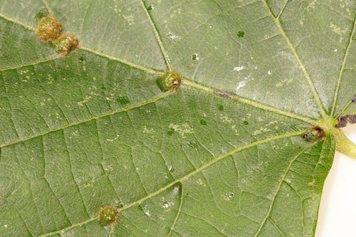 Eriophyes exilis:  galls on Tilia cordata