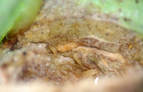 Clinodiplosis cilicrus: first stage larvae