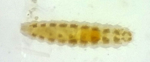 Clinodiplosis cilicrus: first stage larva