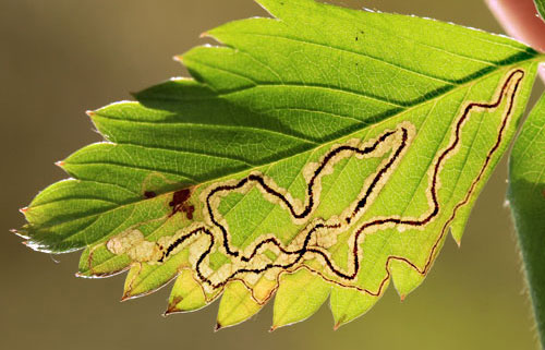 Stigmella splendidissimella: mine on Fragaria vesca