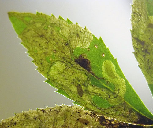 Phytomyza hellebori: occupied mines on Helleborus spec.