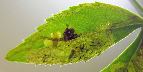 Phytomyza hellebori: larva in mine on Helleborus spec.