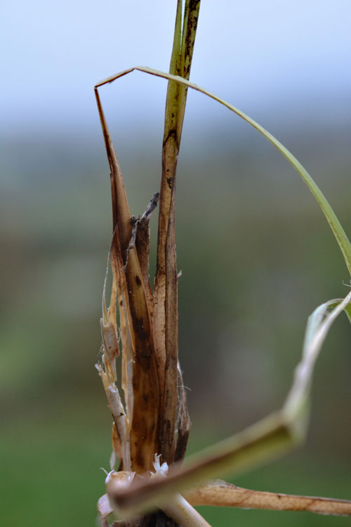 Planetella tumorifica: gall on Carex spec.