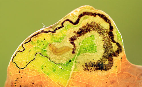 Stigmella ruficapitella: mine on Quercus robur