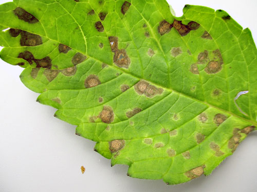 Septoria galeopsidis: leaf spots on Galeopsis spec.