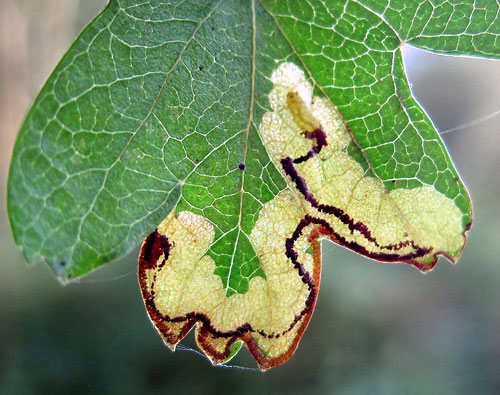 Stigmella regiella: occupied mine on Crataegus spec.