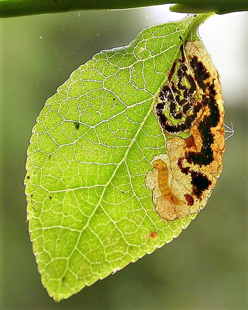 Stigmella myrtillella: occupied mine on Vaccinium myrtillus