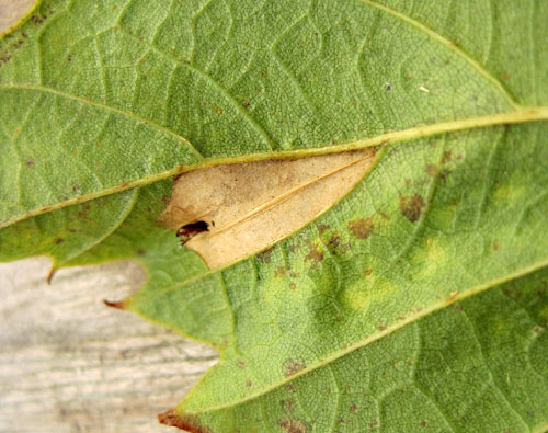 Phyllonorycter messaniella: mine on Castanea sativa