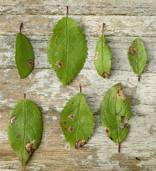 Rhamphus oxyacanthae: mines on Prunus spinosa