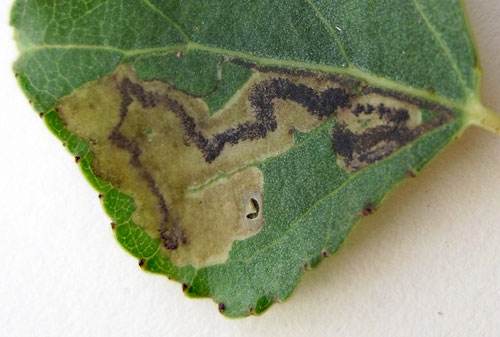 Stigmella trimaculella: vacated mine on Populus spec.