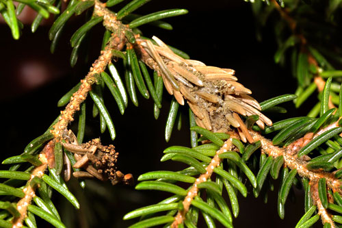 Epinotia nanana: damage on Picea abies