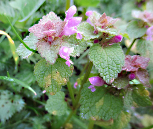 Peronospora lamii: down on Lamium purpureum