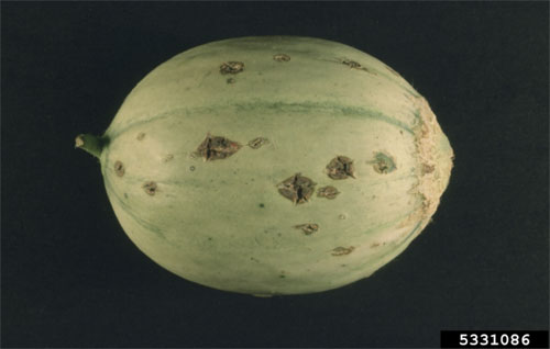 Cladosporium cucumerinum on melon