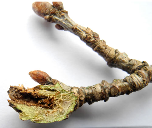 Andricus inflator FM: gall on Quercus robur