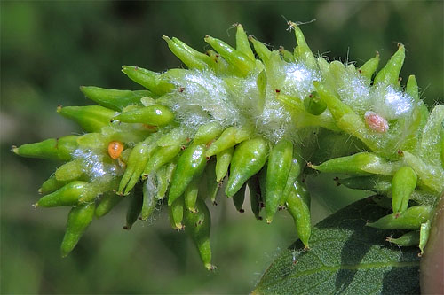 Rabdophaga heterobia gall on Salix triandra
