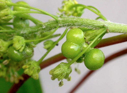 Pediaspis aceris galls